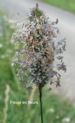 fléole en fleur